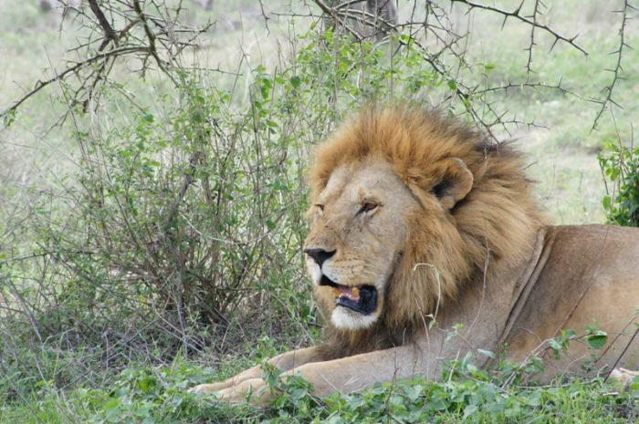 Male LionResting  in Tarangire National Park