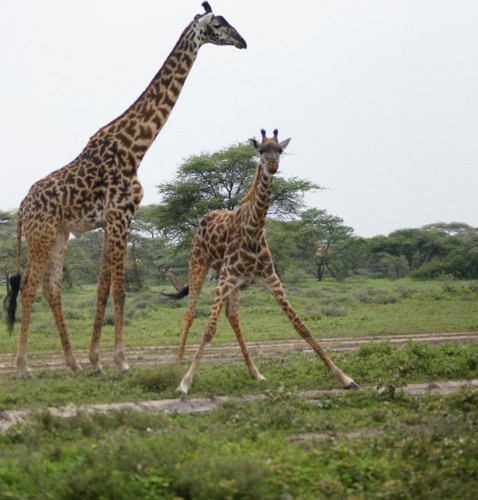 Girrafes in Lake Manyara National Park