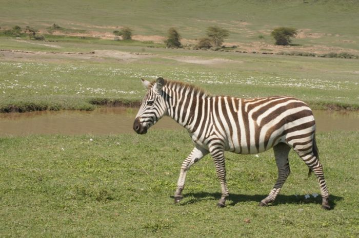 Zebra in Mikumi