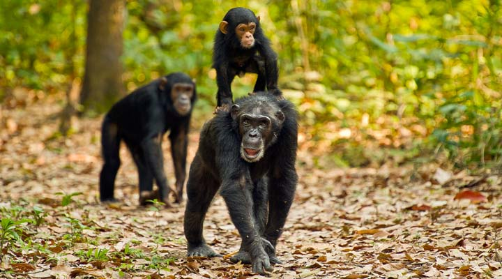 Chimpanzees at Gombe Stream