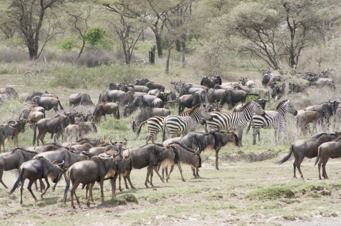 Wildebeest and Zebra in Serengeti Migration Safari