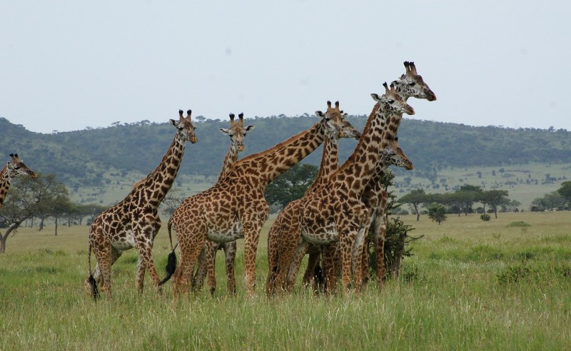 Giraffes in Tarangire National Park